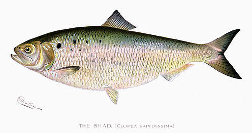 From The Connecticut River To Your Plate: The Amazing American Shad