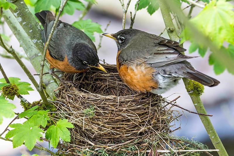 nesting robins